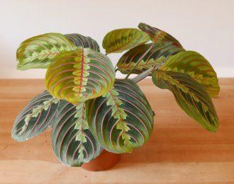 Maranta leuconeura (Prayer plant)