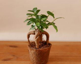 "Ficus microcarpa ""ginseng"""