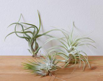 Tris Tillandsia (Air plants)