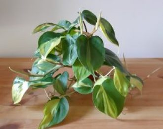 Philodendron hederaceum (Heart leaf philodendron)