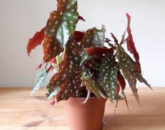 Begonia maculata Wightii (Polka dot Begonia)
