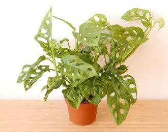 Monstera adansonii (Monkey mask plant)
