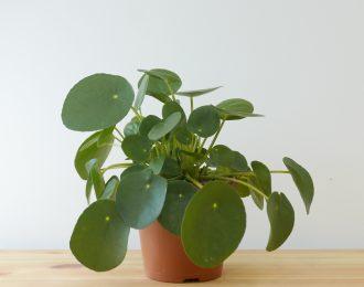 Pilea peperomioides (Pancake plant)
