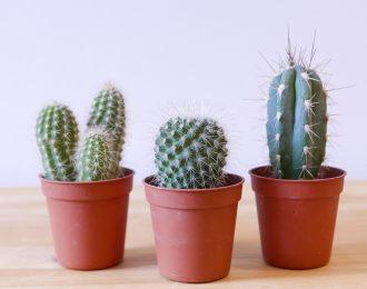 Tris mini cactus