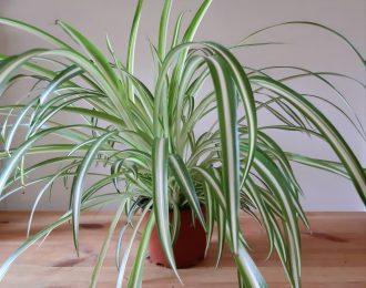 Chlorophytum comosum (Spider plant)