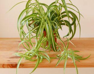 "Chlorophytum comosum ""Bonnie"" (Spider plant)"