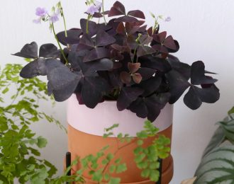 Oxalis triangularis (Butterfly plant)