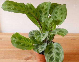 Maranta leuconeura (Prayer plant) var. kerchoveana