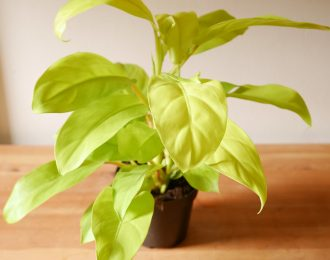 Philodendron erubescens verde lime (Lemon lime Philodendron)