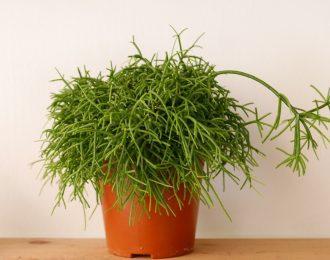 Rhipsalis baccifera (Mistletoe cactus)