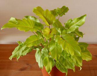 "Thaumatophyllum xanadu ""Golden"" (Golden Xanadu)"