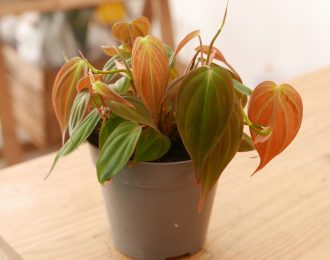 """Philodendron hederaceum """"micans"""""""