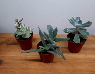 Tris mini succulente