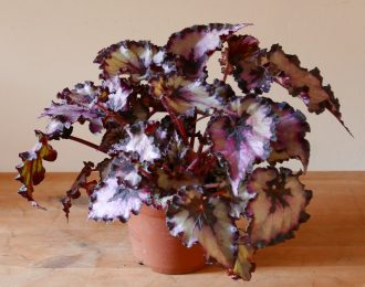 Begonia rex grigio-viola