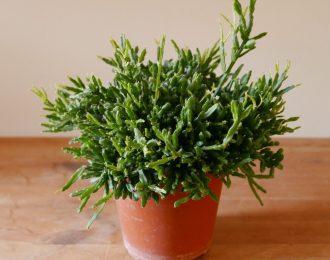 Rhipsalis ewaldiana (Jungle cactus)